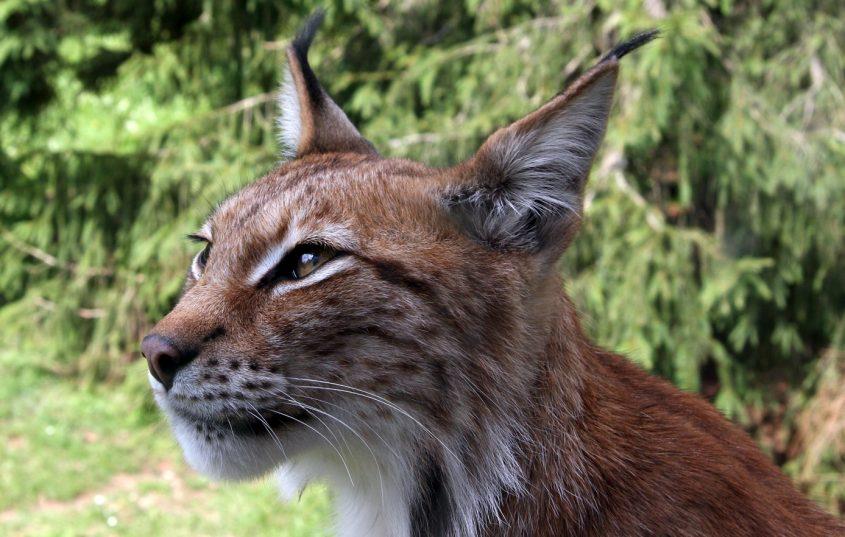 Natura & pallamano: l'animale del mese è la lince