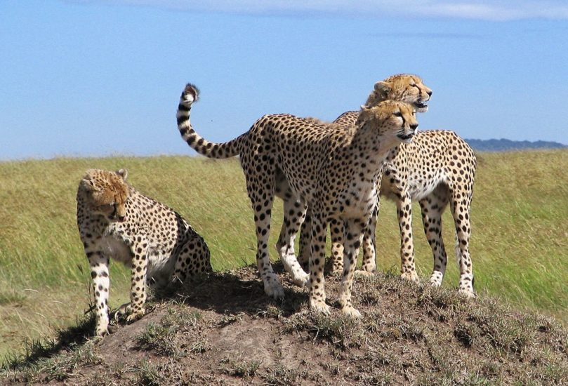 Il ghepardo batte l'uomo, ma il pallone supera tutti