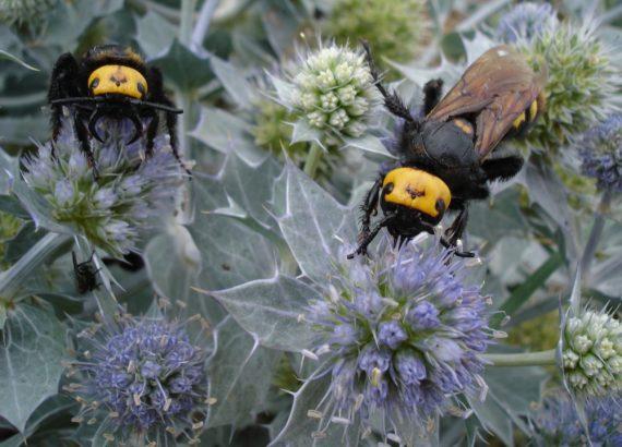 Scolia dalla fronte gialla o Vespa mammuth (Megascolia maculata)