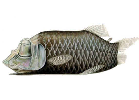 Opistoprotto, pesce che esiste per davvero