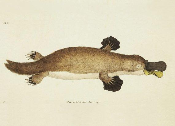 Ornitorinco, figlio di una giovane anatra e del ratto che la violentò