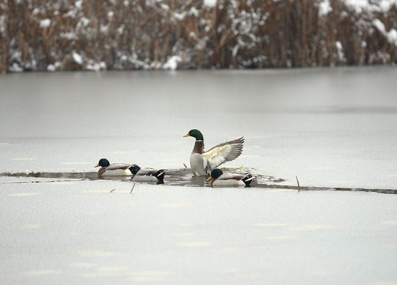 I piedi delle anatre resistono al freddo invernale.